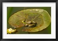 Framed Californian Frog On A Lilypad