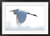 Framed Great Flying Egret