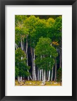 Framed Pre-Autumn Aspens