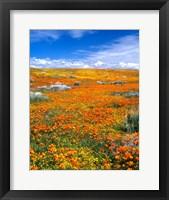 Framed California Poppy Reserve Near Lancaster, California
