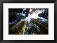 Framed Upward View Of Trees In The Redwood National Park, California