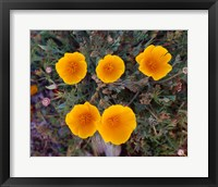 Framed Yellow Desert Flowers