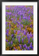 Framed Californian Poppies And Lupine
