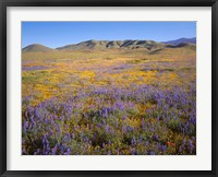 Framed Wildflowers Bloom Beneath The Caliente Range, California