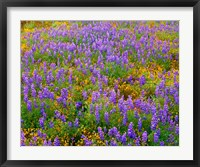 Framed Carrizo Plain National Monument Lupine And Poppies