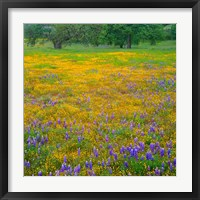 Framed Lupine And Goldfields At Shell Creek Valley, California