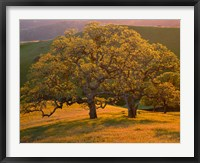 Framed Sunset Soaked Oak Trees, California