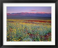 Framed Desert Sunflower Landscape, Death Valley NP, California