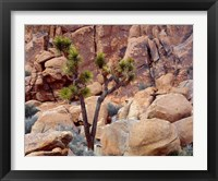 Framed Lone Joshua Trees Growing In Boulders, Hidden Valley, California