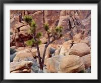 Framed Lone Joshua Trees Growing In Boulders, Hidden Valley, California