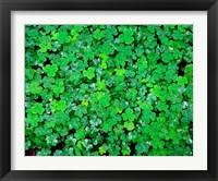 Framed Spring Growth Of Wood Sorrel After Rain