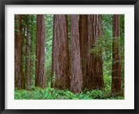 Framed Redwoods Tower Above Ferns At The Stout Grove, California