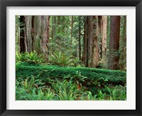 Framed Prairie Creek Redwoods State Park, California