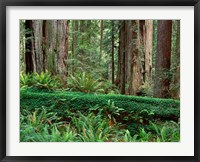 Framed Prairie Creek Redwoods State Park, California