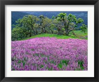 Framed Lupine Meadow In The Spring Among Oak Trees