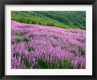 Framed Lupine Meadow Landscape, Readwood Np, California