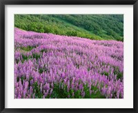 Framed Lupine Meadow Landscape, Readwood Np, California