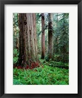 Framed Prairie Creek Redwoods Sp, California