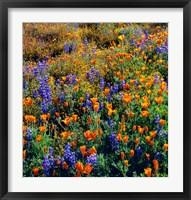 Framed Douglas Lupine And California Poppy In Carrizo Plain National Monument