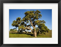 Framed California, Cottonwood Tree