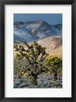 Framed Joshua Trees In The Snow