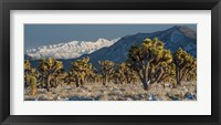 Framed Panoramic View Of Joshua Trees In The Snow