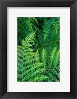 Framed Bracken Fern In Nature