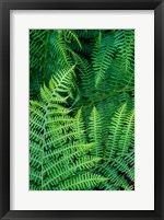 Framed Bracken Fern In Nature