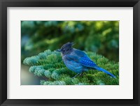 Framed Steller's Jay Perched On A Fir Bough