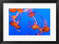 Framed Sea Nettles Dancing At The Monterey Bay Aquarium