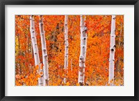 Framed Bright Autumn Aspens Along Bishop Creek