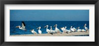 Framed Panoramic Pelicans On The Shore Of The Salton Sea