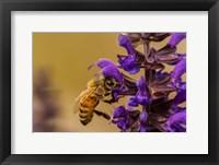 Framed Honey Bee On Salvia Blossoms