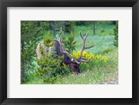 Framed Bull Elk Grazing In Rocky Mountain National Park
