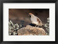 Framed Gambel's Quail On A Rock