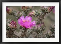 Framed Tree Cholla Cactus In Bloom