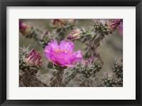 Framed Tree Cholla Cactus In Bloom