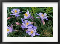 Framed Colorado Columbine