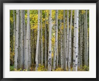 Framed Aspen Displays Fall Color In The West Elk Mountains