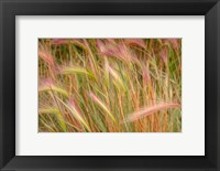 Framed Fox-Tail Barley, Routt National Forest, Colorado