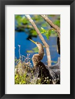 Framed Anhinga In Everglades NP, Florida