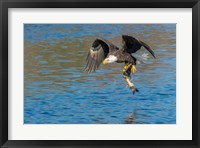 Framed Eagle Catching A Fish,  St John River