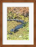 Framed Alligator In St John River