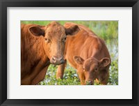 Framed Close-Up Of Red Angus Cow