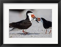 Framed Black Skimmer Fighting Over A Minnow