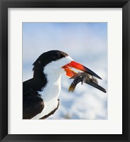 Framed Black Skimmer With Food, Gulf Of Mexico, Florida