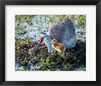 Framed Sandhill Crane Waiting On Second Egg To Hatch, Florida