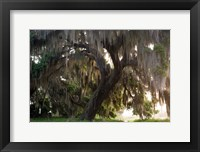 Framed Morning Light Illuminating The Moss Covered Oak Trees, Florida
