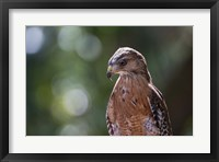Framed Portrait Of A Perched Hawk