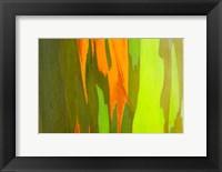 Framed Rainbow Eucalyptus Bark, Hawaii